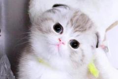 折耳猫为什么不能养:有遗传病的猫(先天性骨骼疾病)