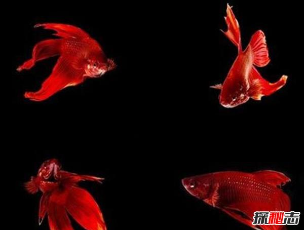 如何养betta鱼?关于养斗鱼的10个有趣事实