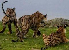 鳄鱼为什么害怕老虎?老虎比鳄鱼强大的地方在哪