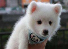 银狐犬和萨摩的区别 两者面部毛发都不同
