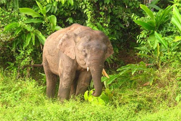 欧洲矮象,什么是欧洲矮象?欧洲矮象与亚洲象的关系