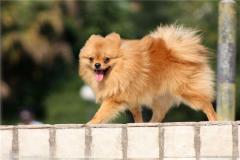 博美(mei)犬(quan)的祖(zu)先(xian)是什麼?