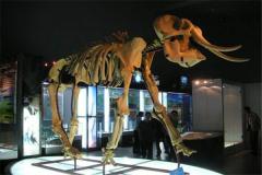 劍齒(chi)象存活于數千萬年前 每天需要(yao)數十噸的食物