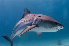 無溝雙髻鯊(sha)vs虎鯊(sha)誰厲害 虎鯊(sha)挑釁鯨魚(更勝一籌)
