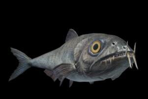 白垩纪的海洋掠食者,矛齿鱼(身长1.5米以鲨鱼为食)