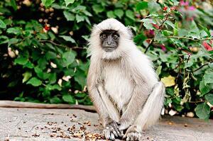 灰叶猴是几级保护动物:一级(全身灰毛/生活在中国云南)