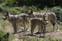世界上最小的狼 阿拉伯狼(肩膀达1米高身长78cm)