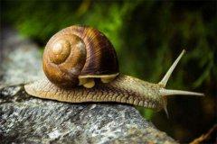 世界上最小的蜗牛 体长仅0.6毫米(身体比针眼更小)