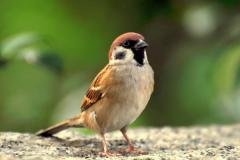 麻雀能活多少年? 麻雀寿命5-10年,濒危动物(共27个物种)