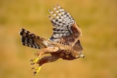 世界最长寿命的鸟:苍鹰毁灭性重生金刚鹦鹉寿命80岁