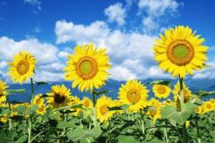 向日葵为什么总是向着太阳?横向光性,生长素控制作用