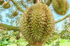 最难吃的水果:榴莲可以最难吃也可以最好吃(两极分化)