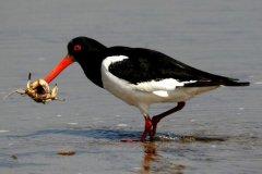 蛎鹬:爱尔兰国鸟,嘴巴锋利似刀(常常插入贝壳觅食)