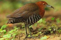 白喉斑秧鸡:晚上觅食鸣叫,行走高抬腿(遇险逃跑迅速)
