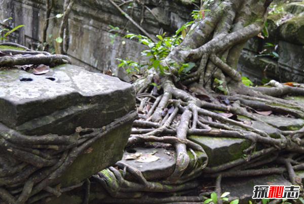 食人树真的会吃人吗?世界上最大的食人树(附图)