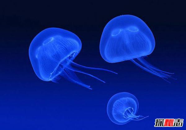 水母的毒性有多强?世界上十大剧毒水母,致命性(附图片)