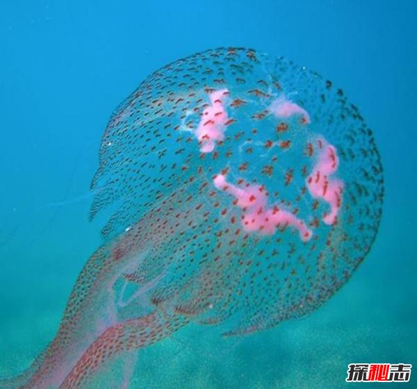 水母的毒性有多强?世界上十大剧毒水母(附图片)