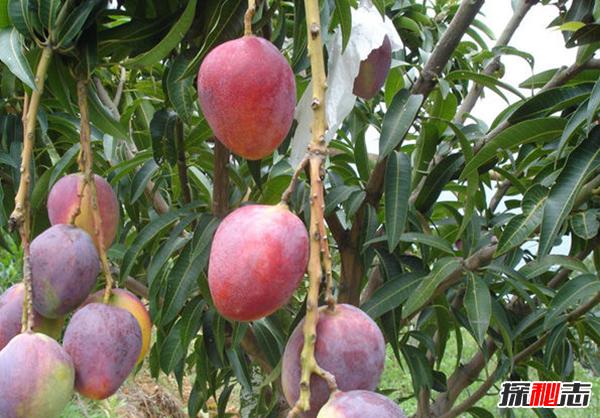 最大的芒果有多大?世界上最大的芒果(附图片)