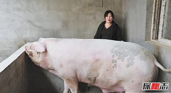 世界上最大的猪:重达2000斤(不挑食没打激素)