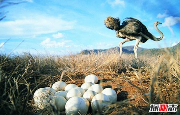 鸵鸟蛋最大有多重?揭秘世界上最大的鸵鸟蛋