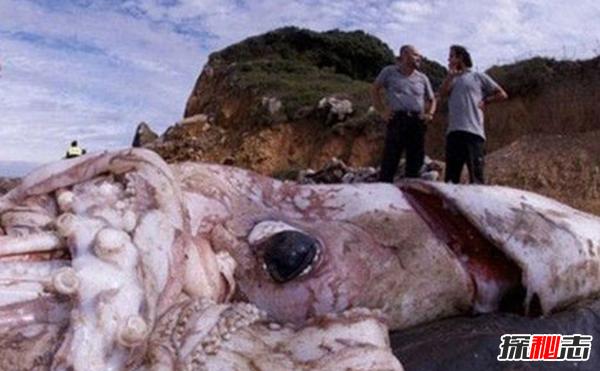 世界上最大的无脊椎动物:能与巨鲸搏斗