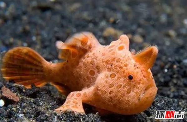 世界上最奇怪的鱼:红色有手鱼(附图片)