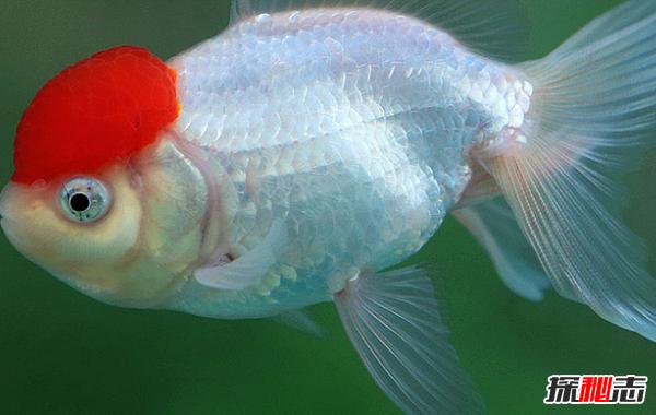 世界最长的鱼是什么鱼?经常被误认为海蛇或龙