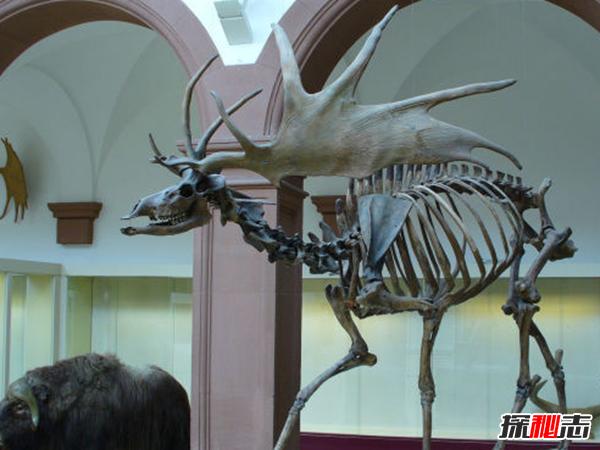 鹿角最长有多长?盘点世界上最长的鹿角