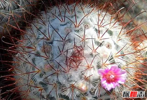 沙漠中最顽强的十大植物,圆桶掌能在地下存活达6年