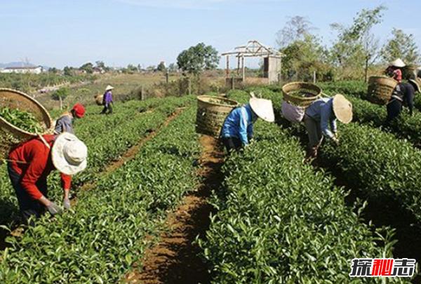 世界上茶叶生产十大国,印度有超10亿饮茶者(70%国内消费)