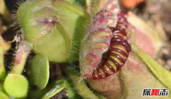 食肉植物有哪些?十大美丽又致命的食肉植物