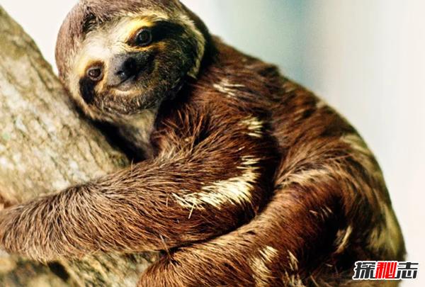 新陈代谢最慢的动物:三趾树懒(懒的背上长满苔藓)