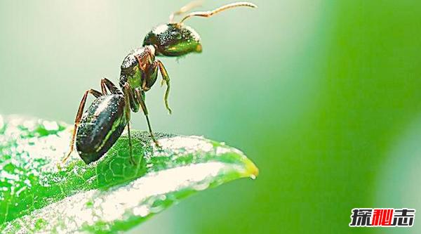 蚂蚁为什么不会迷路?关于蚂蚁的12大惊奇秘密