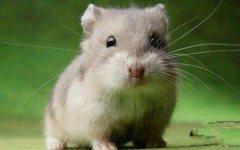 仓鼠饲养禁忌有哪些?原来饲养仓鼠还有这么多讲究