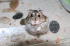 哪些仓鼠比较温顺好养?这五种仓鼠适合新手去养