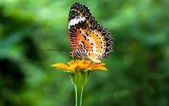 蝴蝶是什么动物类型 它是一种美丽的昆虫