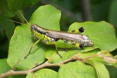蝗蟲是什麼動(dong)物類型 它是農業中典型的害(hai)蟲(可食(shi)用)