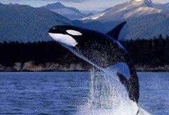 鯨(jing)魚是什麼動(dong)物類型 它是生(sheng)活在水中的哺乳動(dong)物