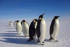企鵝是什麼動(dong)物類型 其實它是鳥類的一(yi)種(讓人(ren)意外)