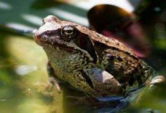 青蛙是什麼動(dong)物類型 它是蛙科兩棲類動(dong)物(人(ren)類的朋友)