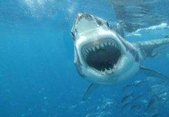 鯊魚是什麼動(dong)物類型?這是一(yi)種什麼樣的生(sheng)物