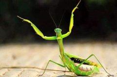 螳螂屬于(yu)什麼類的動(dong)物?它身上有哪些(xie)獨特的特性