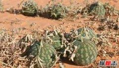 """长在沙漠中的""""西瓜"""":药葫芦(含有剧毒一口即死)"""