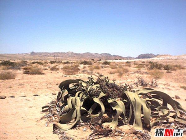 两片叶子活千年:沙漠独有千年兰(寿命极长含有剧毒)