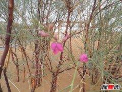生长在沙漠的花:漂亮又迷人的花棒(最长可活70年)