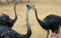 世界上最大的鸟:鸵鸟最长达3米脖子长跑得快(最大的蛋)