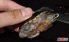 世界上最小的龟:迷你麝香龟不及手掌大(5厘米)