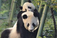 熊猫的祖先是什么动物?八百万年前就出现(以肉为食)