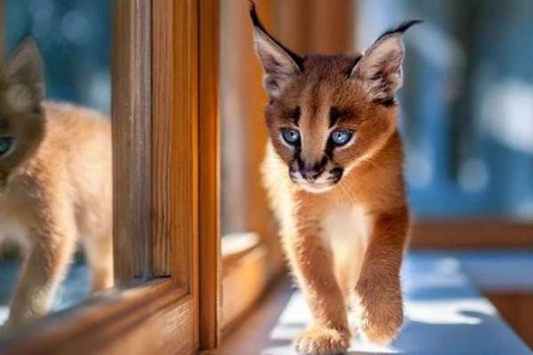 狞猫和猞猁谁厉害图片