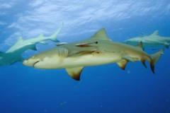 柠檬鲨:因腹部呈现柠檬色而得名(生活于浅礁海域)